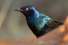 Cape glossy starling in the Kalahari desert Royalty Free Stock Photo
