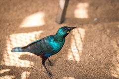 Cape glossy starling in the Kruger. Stock Photos