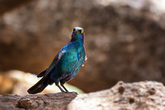 Cape glossy starling Stock Photo