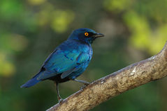 Cape glossy starling lampotornis nitens. Cape glossy starling adult perched on branch Stock Photography