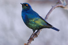 Cape Glossy Starling lampotornis nitens. Starling Cape Glossy adult male stock photo