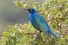 Cape glossy starling (lamprotornis nitens) Stock Photography