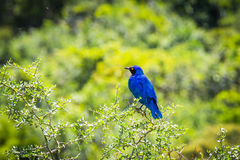 Cape Glossy Starling Stock Photos