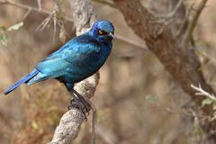Cape Glossy Starling (Lamprotornis nitens) Stock Photos