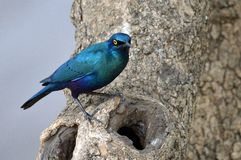 Cape glossy starling (Lamprotornis nitens) Stock Photo