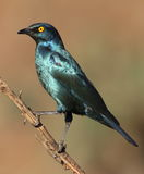 Cape Glossy Starling, Lamprotornis nitens, at Walter Sisulu Nati Stock Photo