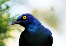 Cape Glossy Starling Portrait. Photographed in our garden, a Cape glossy starling Royalty Free Stock Photos