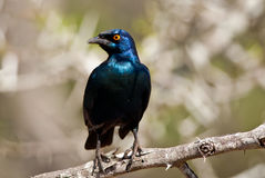Cape Glossy Starling Stock Photography