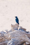 Cape glossy starling, on a tree in Etosha national park Stock Photos