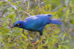 Cape Glossy starling on the tree Stock Image