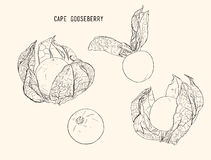 Cape goose berry vector Stock Images