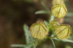Cape Gooseberries Stock Image