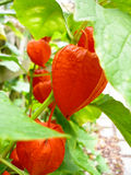 Cape-gooseberry Royalty Free Stock Photography
