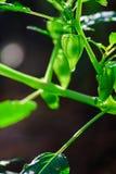Cape gooseberry. In farm organic Stock Photos