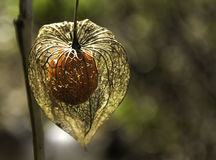 Cape gooseberry. A healthy hanging cape gooseberry Royalty Free Stock Photography