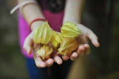 Cape Gooseberry. Bunch of cape gooseberries being held in open hands Stock Image