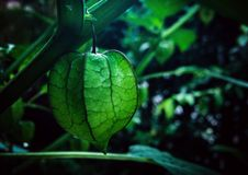 Cape Gooseberry. & x22;Dang Dang& x22; one of the best berries group royalty free stock photo