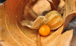 Cape gooseberry fruit. Organic food vegetable golden berry tasty royalty free stock photo