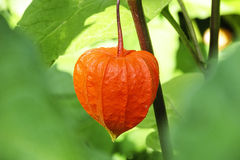 Cape gooseberry lantern stock photography