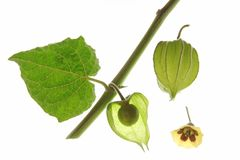 Cape Gooseberry (Physalis peruviana) Royalty Free Stock Photos