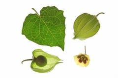Cape Gooseberry (Physalis peruviana) Stock Image