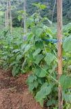 Cape gooseberry (Physalis peruviana) plantation Stock Photography