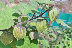 Cape Gooseberry (Physalis peruviana) tree Royalty Free Stock Image