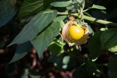 Cape gooseberry plant in the garden Royalty Free Stock Images