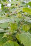 Cape gooseberry Stock Photos