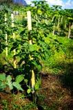 Cape gooseberry tree farm Stock Images