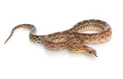 Cape Gopher Snake Stock Image