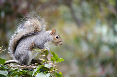 Cape Grey Squirrel Royalty Free Stock Photography