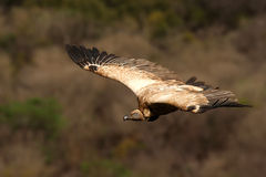 Cape Griffen Vulture Stock Photos