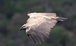Cape Griffen Vulture Stock Image