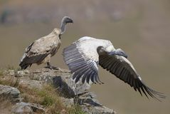The Cape Griffon or Cape Vulture stock photography