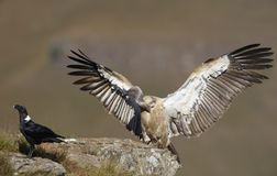 The Cape Griffon or Cape Vulture Royalty Free Stock Images
