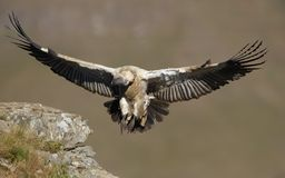 The Cape Griffon or Cape Vulture Stock Photo