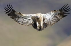 The Cape Griffon or Cape Vulture. (Gyps coprotheres) flying in South Africa. It is an Old World vulture in the Accipitridae family royalty free stock image