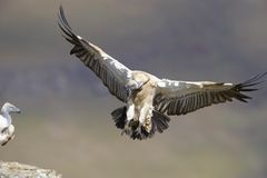 The Cape Griffon or Cape Vulture Stock Photos