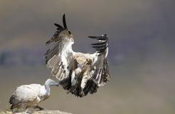 The Cape Griffon or Cape Vulture Stock Images