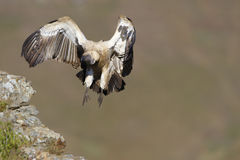 The Cape Griffon or Cape Vulture Royalty Free Stock Photos