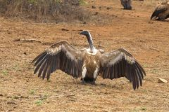 Cape Griffon or Cape Vulture (Gyps coprotheres) Royalty Free Stock Photos
