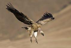 Cape griffon landing Stock Photo