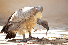 Cape Griffon tear off pieces of flesh from a carcass. A Cape Griffon (Gyps coprotheres) tearing off pieces of flesh from a carcass. This large vulture is on Royalty Free Stock Image