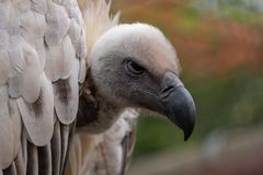 Cape Griffon vulture, large raptor indigenous to the area, photographed in the Drakensberg mountains, Cathkin Peak, South Afri. Cape Griffon vulture, large royalty free stock images