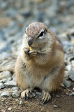 Cape ground squirrel. Portrait of cape ground squirrel (xerus inauris) eating a nut Stock Photos