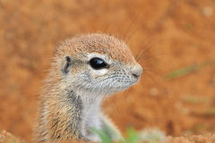 Cape Ground Squirrel Royalty Free Stock Image