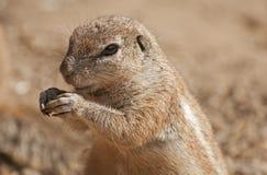 Cape ground squirrel Stock Images