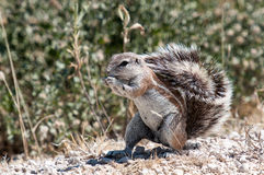 Cape Ground Squirrel Royalty Free Stock Photography