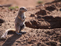 Cape ground squirrel Royalty Free Stock Photo